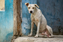 Cute Little Homeless Dog In The Streets Of Old Havana City, Capital Of Cuba, During A Sunny Day.