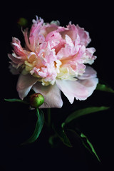 FototapetaBeautiful fluffy blooming pink peony on black background