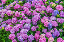 Colorful Floral Background Of Pastel Pink And Blue Blooming Hydrangea Flowers