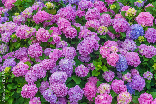 Deurstickers Hydrangea colorful floral background of pastel pink and blue blooming hydrangea flowers