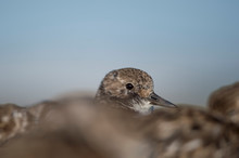 Ruddy Turnstone Peeking