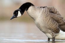 Fluffy Canada Goose