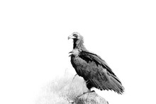 The Cinereous Vulture (Aegypius Monachus) Also Known As The Black Vulture, Monk  Or Eurasian Black Vulture Sitting On The Feeding Place..Artistically Rendered Isolated Black Vulture.