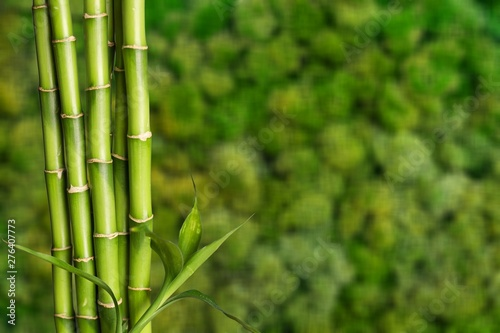 Acrylic Prints Bamboo Many bamboo stalks on blurred background