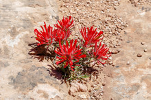 Indian Paintbrush Plant At Can...