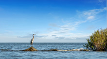Great Blue Heron Standing On A Rock Jetty Looking Out Over The Chesapeake Bay