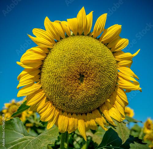 Large single yellow sunflower