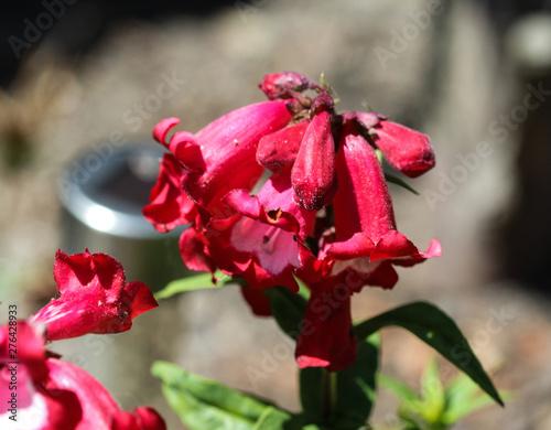 Photo Cestrum elegans, also know as the purple cestrum, red cestrum, or bastard jasmin