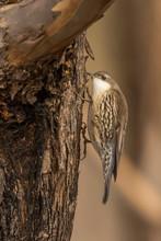 White-throated Treecreeper (Co...