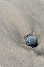 Solitary Sea Scallop Shell In ...