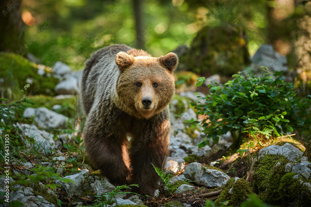 Fototapeta Wild brown bear (Ursus arctos) close up