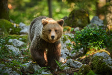 Wild Brown Bear (Ursus Arctos)...