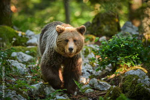 Wild brown bear (Ursus arctos) close up