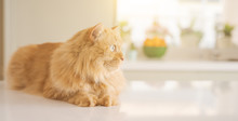 Beautiful Ginger Long Hair Cat...