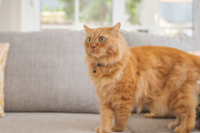 Beautiful Ginger Long Hair Cat Lying On The Sofa On A Sunny Day At Home