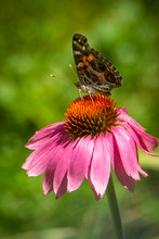 American Lady Butterfly  On Co...