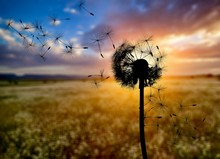 Close Up Of Grown Dandelion And Dandelion Seeds Isolated On  Background