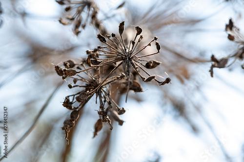 Fotografie, Obraz  dry Apiaceae  or Umbelliferae family plant close-up shallow focus bottom view on