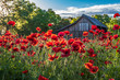 Garden of red poppies backlight with morning sunlight