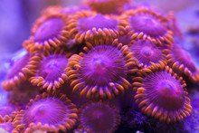 Colorful Zoanthus Coral Colony