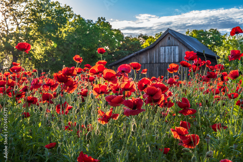Canvas Prints Poppy Garden of red poppies backlight with morning sunlight