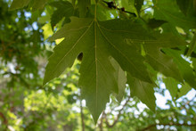 Close Up Of Leaves Of Planetree Tree In London. Taken In The Woods.