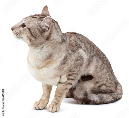 Photographie  Oriental tabby-point male cat sitting.
