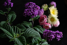 Purple Heliotrope Flower And C...
