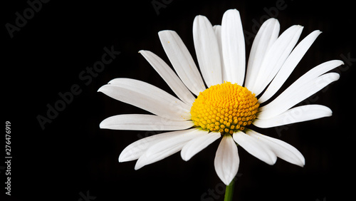 Tuinposter Madeliefjes Large Chamomile on a black background with copy space