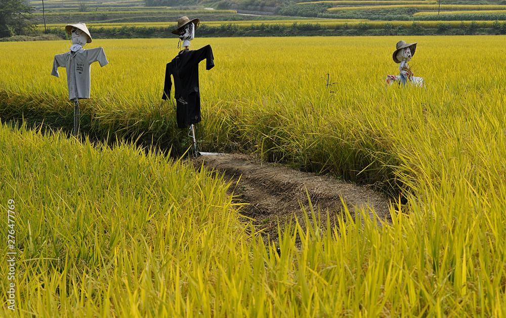 Fototapety, obrazy: a view of autumn rice harvest