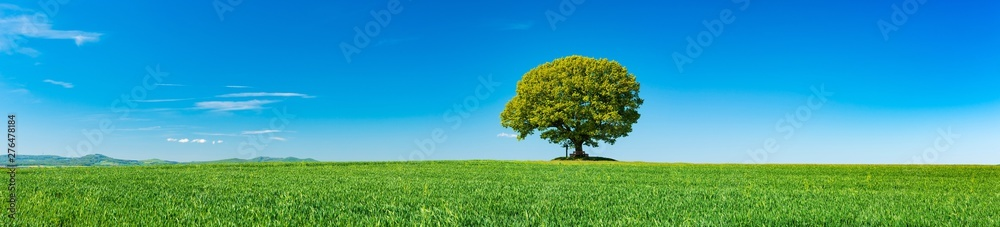 Fototapeta Panorama of Green Field with solitary Oak Tree under Blue Sky in Spring