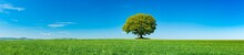 Panorama Of Green Field With Solitary Oak Tree Under Blue Sky In Spring