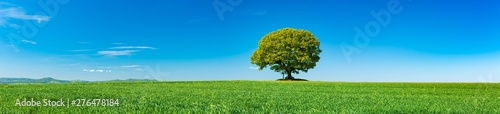 Spoed Fotobehang Weide, Moeras Panorama of Green Field with solitary Oak Tree under Blue Sky in Spring