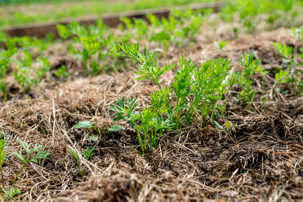 Fototapety, obrazy: Raised garden bed with green carrot leaves showing from the ground