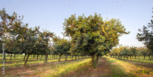 Fotomural  Sour cherries on orchard