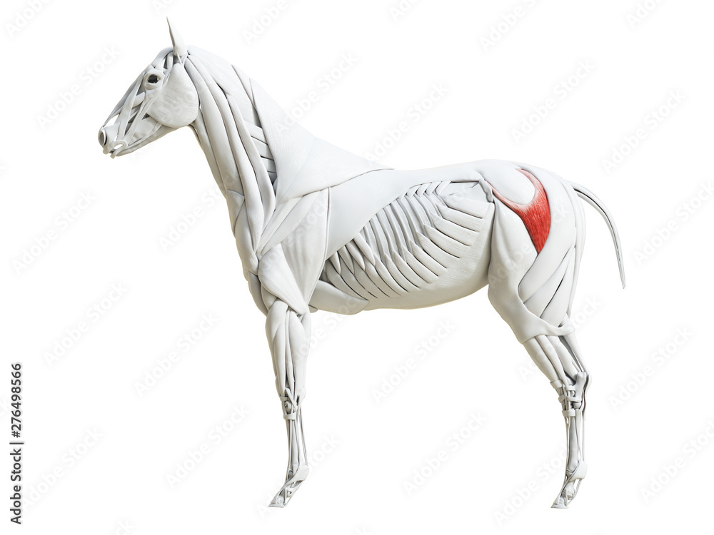 Fototapety, obrazy: 3d rendered medically accurate illustration of the equine muscle anatomy - gluteus superficialis