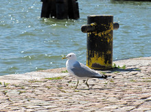 A Gray And White Seagull Walking On The Pier By The Water