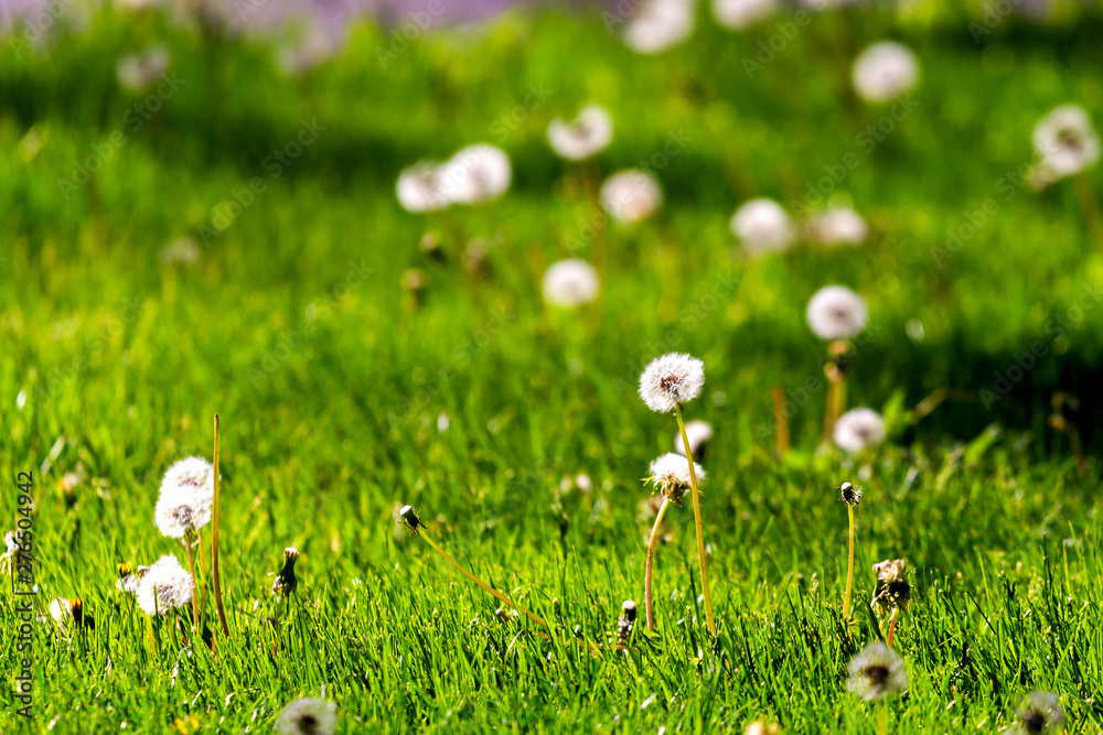 Fototapety, obrazy: White dandelion on the meadow