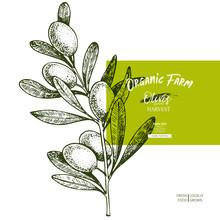 Hand Drawn Label Of Extra Virgin Olive Oil. Vector Colored Vintage Art. Set Of Farm Vegetables. Organic Sketched Vegetarian Objects. Use For Restaurant, Menu, Package, Market, Flyer, Template.