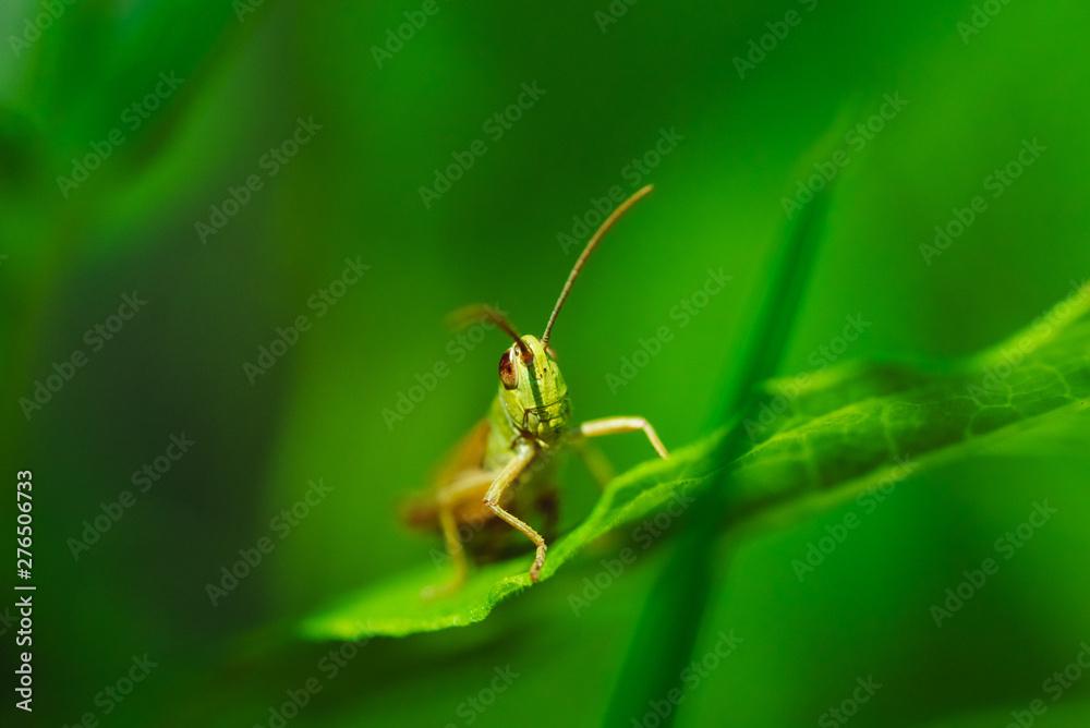 Fotografie, Obraz Macro photo of green grasshopper on grass in summer