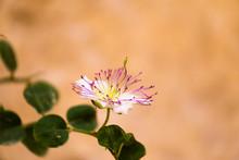 Capparis Bloom