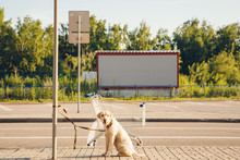 Alone Labrador Dog Is Tied With Leash To Post On Park All Over Supermarket Store. Concept Owner Betrayed Pet In Heat