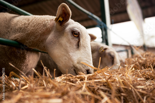 Poster de jardin Vache Sheep's head while eating hay on an animal farm.