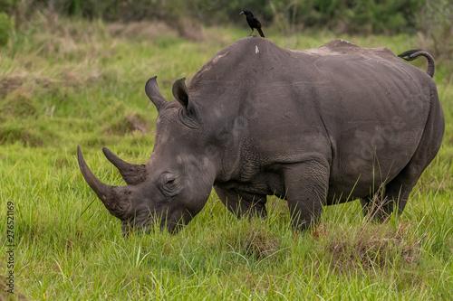 Foto op Aluminium Stierenvechten White rhinoceros (Ceratotherium simum) with calf in natural habitat, South Africa
