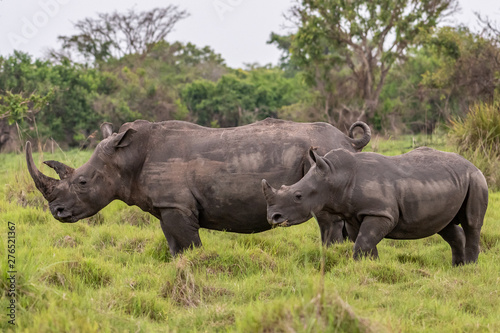 In de dag Neushoorn White rhinoceros (Ceratotherium simum) with calf in natural habitat, South Africa
