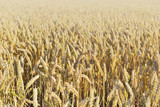 Fototapeta Coffie - golden ripe wheat growing in a field