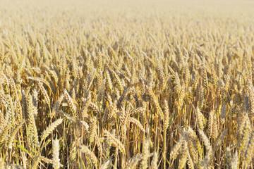 Obraz na Szklegolden ripe wheat growing in a field