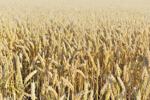 golden ripe wheat growing in a field