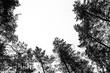 Leinwanddruck Bild - Monochrome photo of pine forest in winter