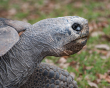 Galapagos Tortoise Head Close Up With Large Black And White Eye Against A Brown And Green Leaf Strewn Background.